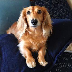 long hair dachshund